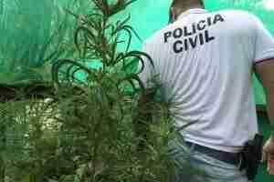 Agentes apreenderam 50 pés da droga em uma estufa | Foto: Polícia Civil / Divulgação / CP