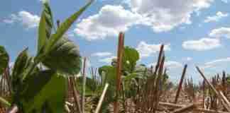 Inoculação reduz custos com fertilizantes na soja. Adição de bactérias fixadoras de nitrogênio nas sementes de soja resulta em economia.