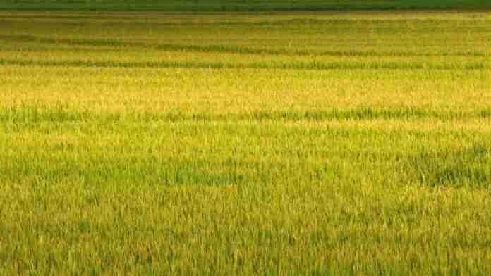 Segundo a Emater/RS-Ascar para safra 2019-2020,serão plantados 961.377 hectares de arroz no Estado, com redução de área de 2,03%