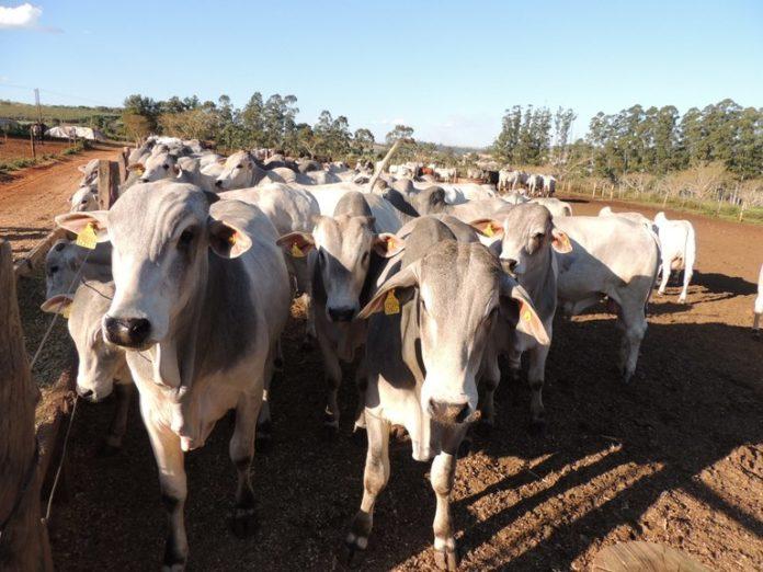 A partir de novembro, o rebanho de 9,2 milhões de bovinos e bubalinos do estado não será mais vacinado contra a doença