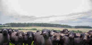 Eventos destacam produção e consumo da carne de búfalo Palestra, leilão e degustação fazem parte de programação em dois momentos no próximo sábado, 19 de outubro