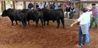 Remate Núcleo Centro Angus atendeu às expectativas dos criadores na 69ª Feira Agropecuária de Cachoeira do Sul