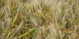 Boletim semanal da Emater aponta que o preço médio da saca de trigo (60kg) é de R$41,50/sc.